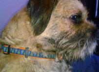 Celt - border terrier.