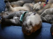 Nasi najmłodsi klienci - miot wilczaków czechosłowackich z hod. Wilczy Duch,