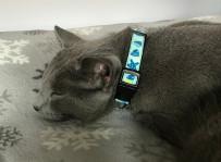 Louis - kot rosyjski niebieski.