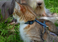 Hedda - kot norweski leśny