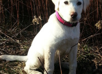 Bella - labrador retriever