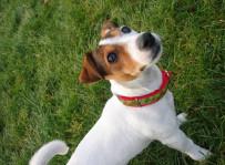 Lola - jack russell terrier