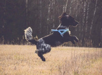 Knara - sunia w typie spaniela, fot. Agnieszka Bałabuch