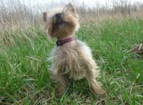 Coco - yorkshire terrier, fot. Klaudia Malinowska