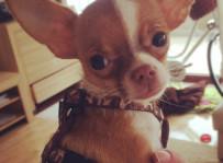 Hugo Boss - ważący 78 dag chihuahua, najmniejszym zadowolonym klientem! ;)