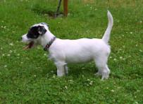 Dasza - jack russell terrier