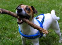 Psota - jack russell terrier