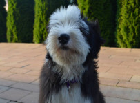 Johnny - bearded collie