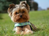 Walter - yorkshire terrier