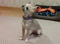 Chihuahua Rózia