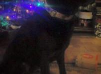 Negra - labrador retriever