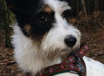 Tajga - jack russel terrier