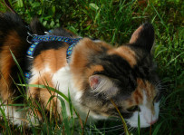 Cassie - kot norweski leśny